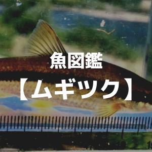 釣り魚図鑑 【ムギツク】