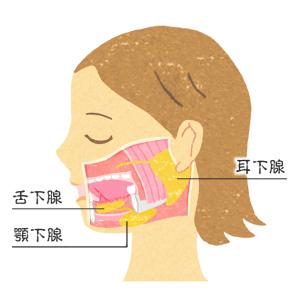 唾液腺(耳下腺・顎下腺・舌下腺)イラスト