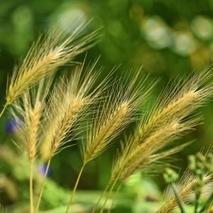 古代エジプト人「麦に尿をかけると、妊娠した女性のだけ発芽する」 現代の研究で正しかったと判明