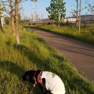 サニーちゃん、5時起き涼しいお散歩