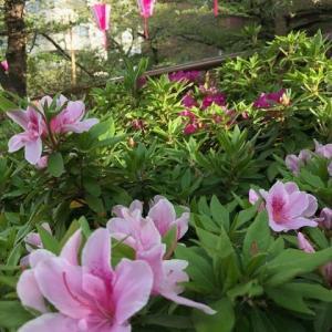 目黒川、桜の次は、、、