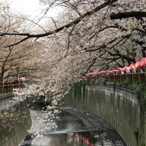 目黒川の桜もそろそろ終わりになります!