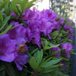 紫のつつじがキレイに咲いています! 気持ちを晴れやかに過ごしましょう(^^)