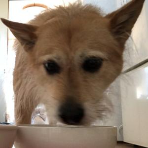 犬の反抗期と食事のストライキ