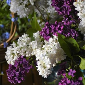 6月12日の花は『ライラック』