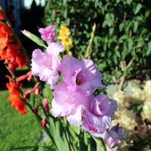 6月14日の花は『グラジオラス』