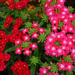 6月24日の花は『バーベナ』