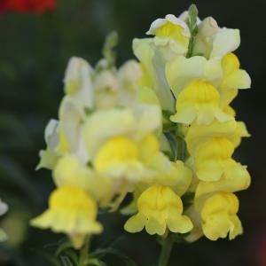 7月2日の花は『キンギョソウ』