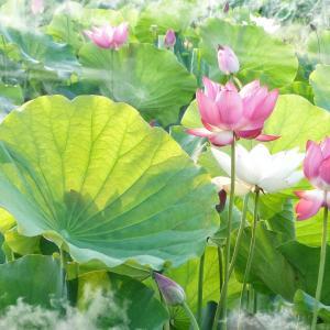 7月3日の花は『ハス』