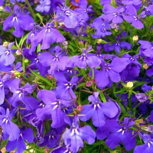 7月5日の花は『ロベリア』