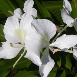 7月16日の花は『ジンジャー』