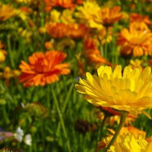 7月18日の花は『マリーゴールド』
