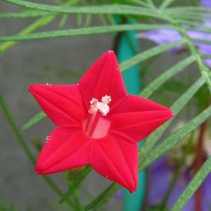 7月20日の花は『ルコウソウ』