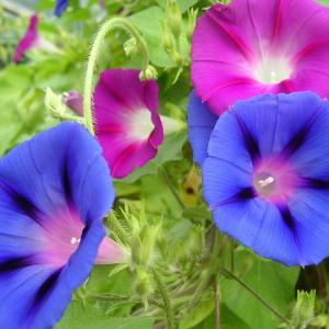 7月21日の花は『アサガオ』