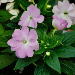 7月25日の花は『インパチェンス』
