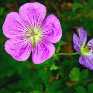 7月27日の花は『フウロソウ』
