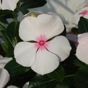 7月30日の花は『ニチニチソウ』