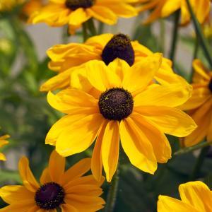 7月31日の花は『ルドベキア』