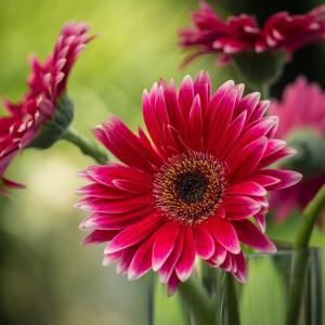 8月1日の花は『ガーベラ』