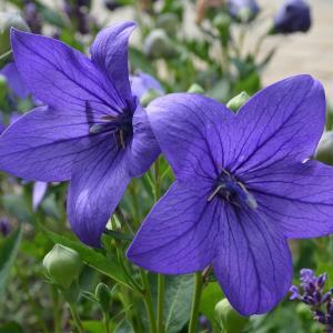 8月2日の花は『キキョウ』