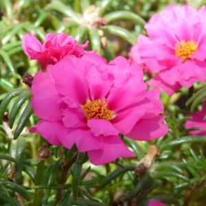 8月3日の花は『マツバボタン』