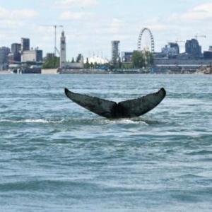 モントリオールに迷い込んだザトウクジラの短い人生