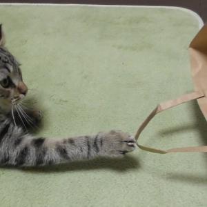 初めて紙袋を見る子猫の行動