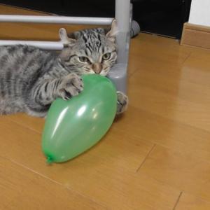 初めての風船にキレる?子猫