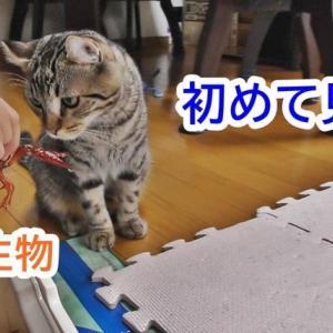 【猫vsザリガニ】室内飼いの猫が初めてみた外の生物