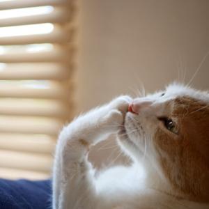 猫が体を過剰になめるのでハゲが出来た!過剰グルーミングの理由と対策法