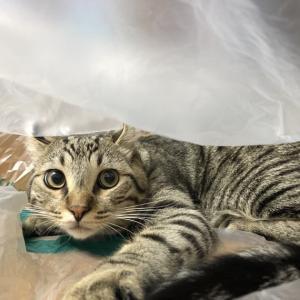 レジ袋を見つけたら、入らずにはいられない猫