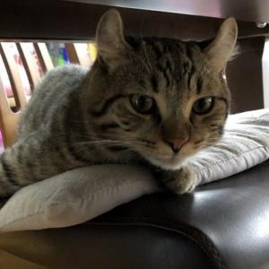 テーブルと椅子の間でくつろぐ猫