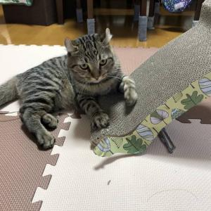 爪とぎをかじって破壊する猫