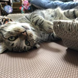 2つの爪とぎを手玉にとる猫