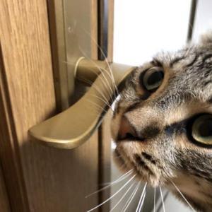 顔でドアノブを開けようとする猫