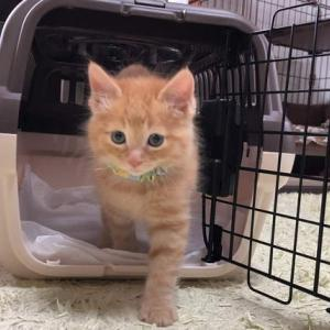 約生後50日の子猫|保護猫が家族になりました。