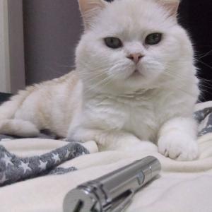 猫は皆好き!レーザーポインターで遊ぶスコティッシュフォールドTATA