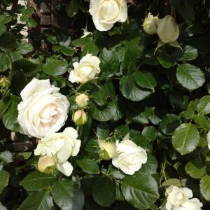 5/26  おうち居酒屋と白い花