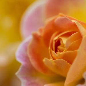 美しい人はアップも美しい@だちぼくバラ祭り