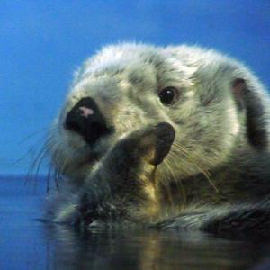 【2020最新】らっこがいる水族館全5館!絶滅危惧種のラッコが見舞われている高齢化問題とは?