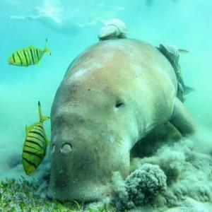 【人魚のモデル】絶滅が心配されるジュゴンってどんな生き物?マナティーとの違いや飼育水族館など詳しく解説!