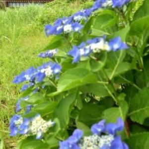 名鉄電車と紫陽花、其の四