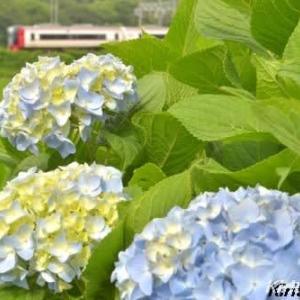 名鉄電車と紫陽花、其の五