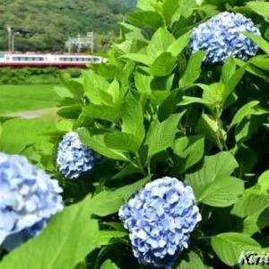 名鉄電車と紫陽花、其の七