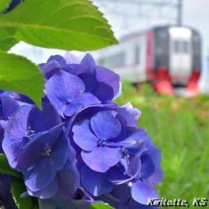 名鉄電車と紫陽花、其の八