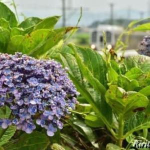 渥美線と紫陽花、其の十一