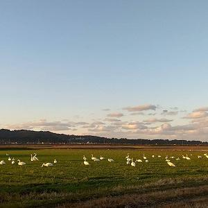 白鳥撮り始め