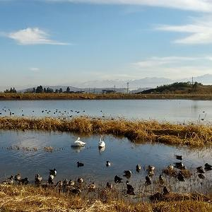白鳥 調査