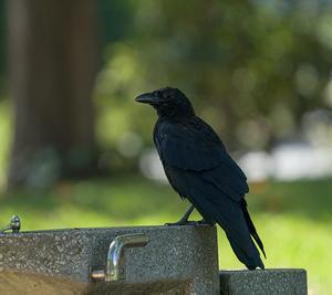 身近な黒い鳥 カラス