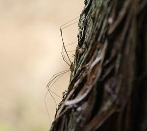 ザトウムシってクモなの?